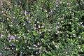 2015-12-17 Haterumajima、 Cuphea hyssopifolia、ミソハギ科 タバコソウ属 メキシコハナヤナギ DSCF2741.JPG