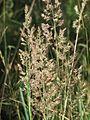 20150630Calamagrostis epigejos2.jpg