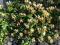 2016-05-27 08 16 23 Honeysuckle blooming along Interstate 64 at the border of Nelson County and Albemarle County in Virginia.jpg
