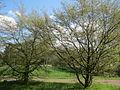 20160406Carpinus betulus2.jpg