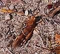 2017.08.20.-05-Schulgutweiher Waldsee--Blaufluegelige Oedlandschrecke-Paarung.jpg