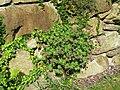 2018-05-13 (167) Geranium macrorrhizum (Rock Crane's-bill) at Bichlhäusl in Frankenfels, Austria.jpg