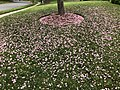 2019-04-25 12 50 55 Petals from a Kanzan Cherry scattered across a lawn along Dairy Lou Drive in the Franklin Farm section of Oak Hill, Fairfax County, Virginia.jpg