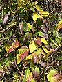 2019-12-04 11 51 11 Japanese Honeysuckle leaves in late autumn along a walking path in the Franklin Farm section of Oak Hill, Fairfax County, Virginia.jpg