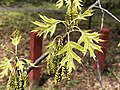 2020-04-10 13 44 31 Pin Oak new leaves and catkins at Franklin Farm Park in the Franklin Farm section of Oak Hill, Fairfax County, Virginia.jpg