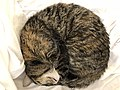 2020-04-24 14 00 45 A tabby cat sleeping on a couch in the Franklin Farm section of Oak Hill, Fairfax County, Virginia.jpg