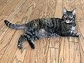 2020-05-08 21 10 13 Tabby cat lying on a wood floor in the Franklin Farm section of Oak Hill, Fairfax County, Virginia.jpg