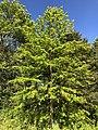 2020-05-12 17 22 55 A Pin Oak sapling in spring within Franklin Farm Park in the Franklin Farm section of Oak Hill, Fairfax County, Virginia.jpg