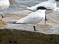 2020-07-18 Thalasseus sandvicensis, St Marys Island, Northumberland 03.jpg