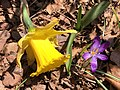 2021-04-06 13 16 05 King Alfred Daffodil and Crocus tommasinianus blooming along Tranquility Court in the Franklin Farm section of Oak Hill, Fairfax County, Virginia.jpg