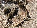 4 מפרץ הצדפים , שמורת חוף דור-הבונים.jpg