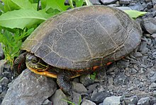 A midland painted turtle sitting on rocky ground facing left with his head slightly retracted into his shell