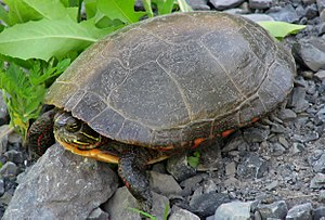 Painted turtle - A midland painted turtle sitting on rocky ground facing left with his head slightly retracted into his shell