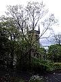 AZ0108 Ulmus minor. Calton Hill Park, Edinburgh (11).jpg