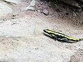 A Fire Salamander that we found at the Xanderklinge waterfall in Baden-Wurttemburg.jpg