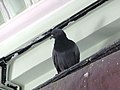 A Rock Dove in Jaipur Museum.jpg