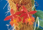A and B Larsen orchids - Epidendrum radicans orange 209-12.jpg