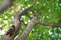 A cicada on a maple tree (7777619404).jpg