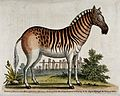 A female zebra standing in an enclosure. Coloured etching af Wellcome V0020552.jpg