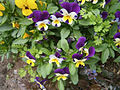 A few little pansies in my garden.jpg