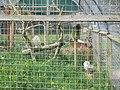 A pair of Snowy Owls - geograph.org.uk - 1870814.jpg