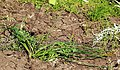A translocated brodiaea plant (33330728375).jpg