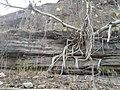 A tree on gwalior fort.jpg