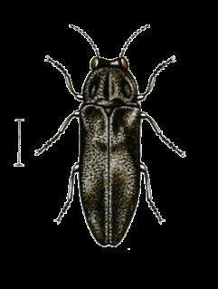 <i>Aaaaba</i> Genus of beetles