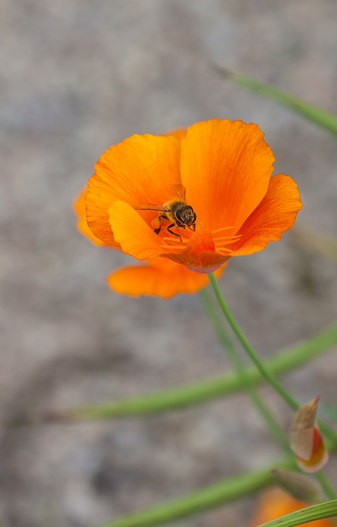 File abeja lasioglossum calceatum en una amapola de for Ahuyentar abejas jardin