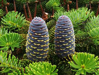 <i>Abies koreana</i> Species of plant