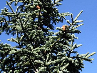 Abies magnifica - Abies magnifica: Cones stand upright on branches