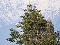 Abies pindrow India18.jpg
