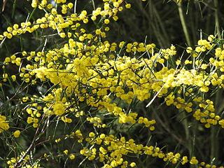 <i>Acacia ausfeldii</i> species of plant