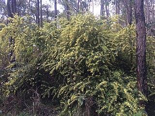 <i>Acacia pentadenia</i> species of plant
