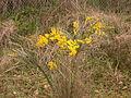 Acacia pravissima (5055337959).jpg