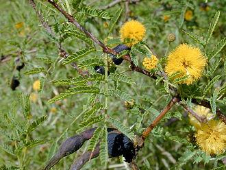 Vachellia farnesiana - Image: Acaciafarnesiana 1web