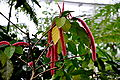 Acalypha hispida (Euphorbiaceae) Rode poezenstaart Nationale Plantentuin Meise 10-01-2010 14-16-57.JPG
