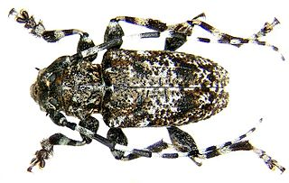 <i>Acanthoderes</i> genus of insects