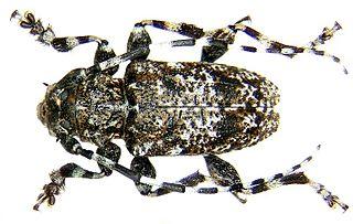 <i>Acanthoderes</i> Genus of beetles