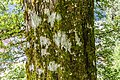 Acer cappadocicum in La Jaysinia (1).jpg