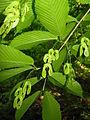 Acer carpinifolium 4.JPG
