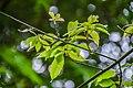 Acer henryi in Hackfalls Arboretum (2).jpg
