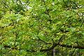 Acer truncatum - Morris Arboretum - DSC00271.JPG