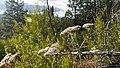 Achillea millefolium 6.jpg