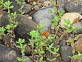 Acraea terpsicore Linnaeus, 1758 – Tawny Coster at Peravoor 2017 (1).jpg