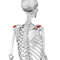 Acromion of scapula04.png