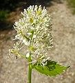 Actaea spicata flower (04).jpg