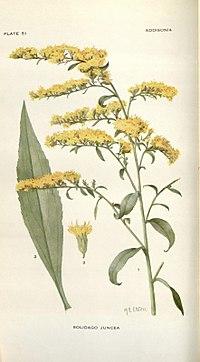 Addisonia (PLATE 051) (8577486586).jpg