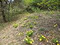 Adonis vernalis Valais2.jpg