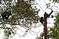 Adult lion-tailed macaque looking at the electrocuted infant in Valparai DSC 2548.jpg